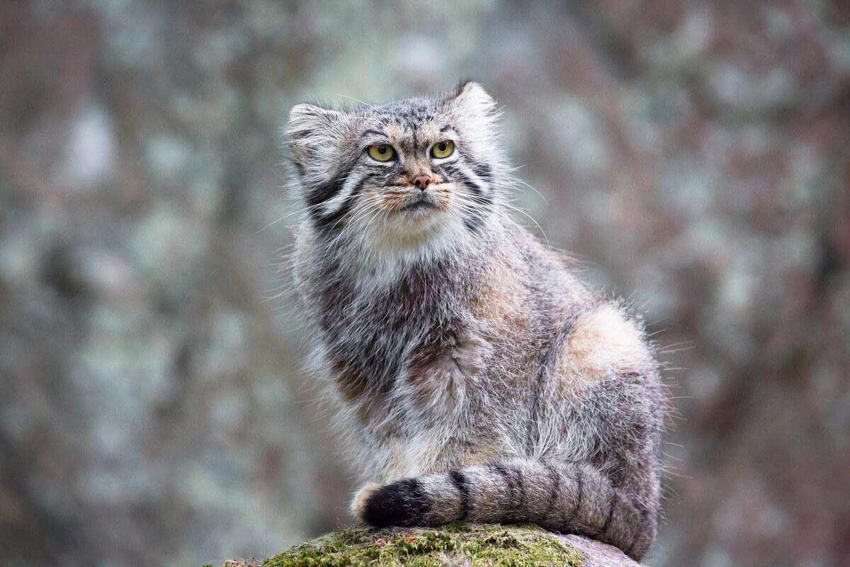Le visage d'un chat Pallas.