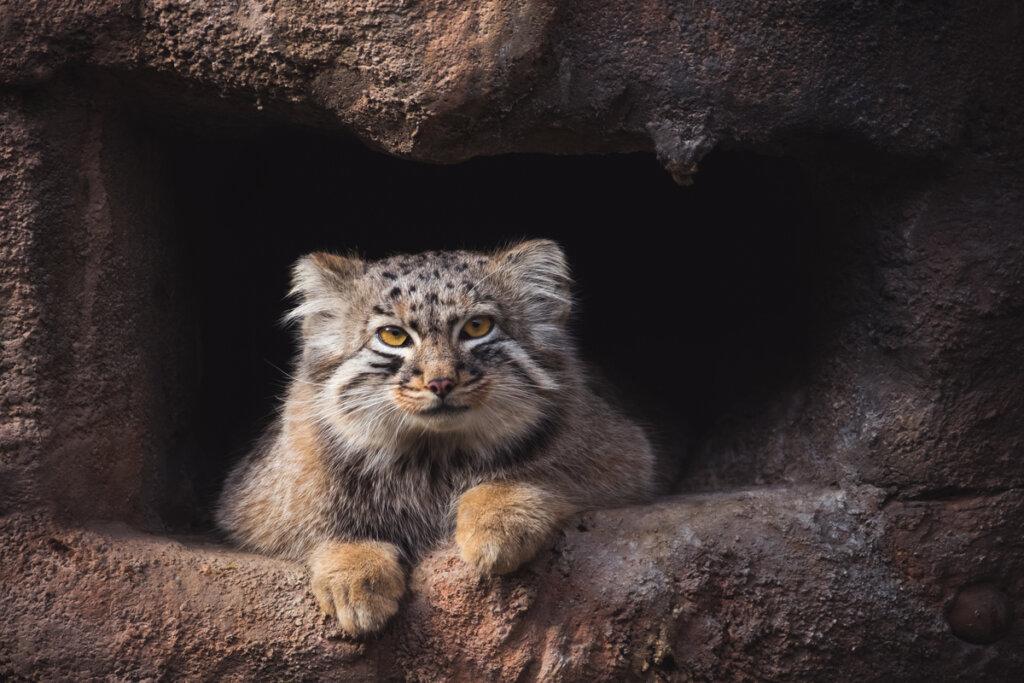 El gato de Pallas: un solitario del Himalaya