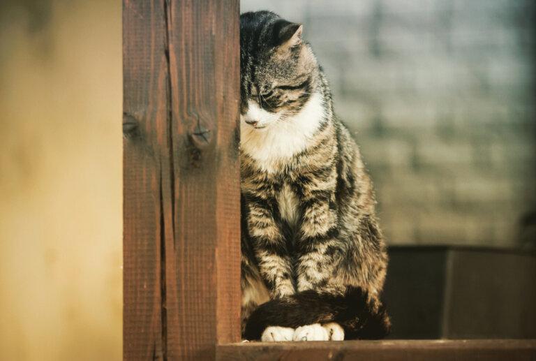 Tres enfermedades mentales en gatos