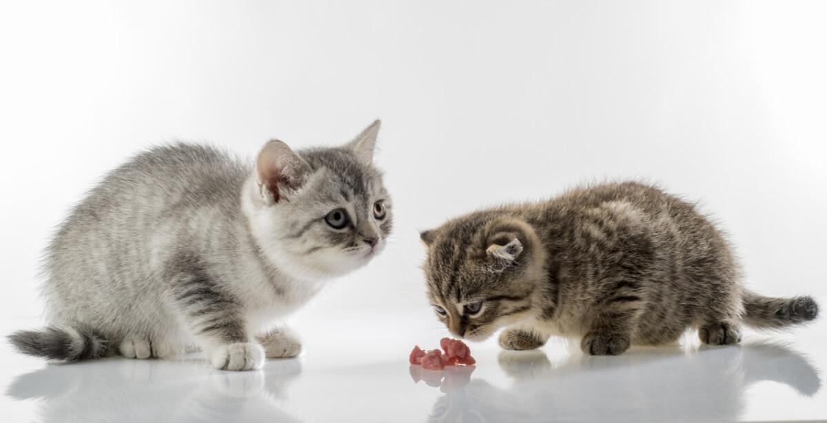 Dos gatos comiendo carne.