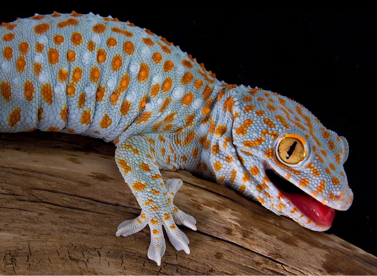 Un gecko tokay en posición de amenaza.