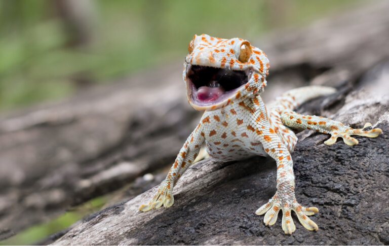 Gecko tokay: el reptil más malhumorado del reino animal