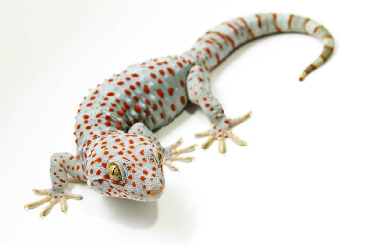 Un gecko tokay sobre fondo blanco.