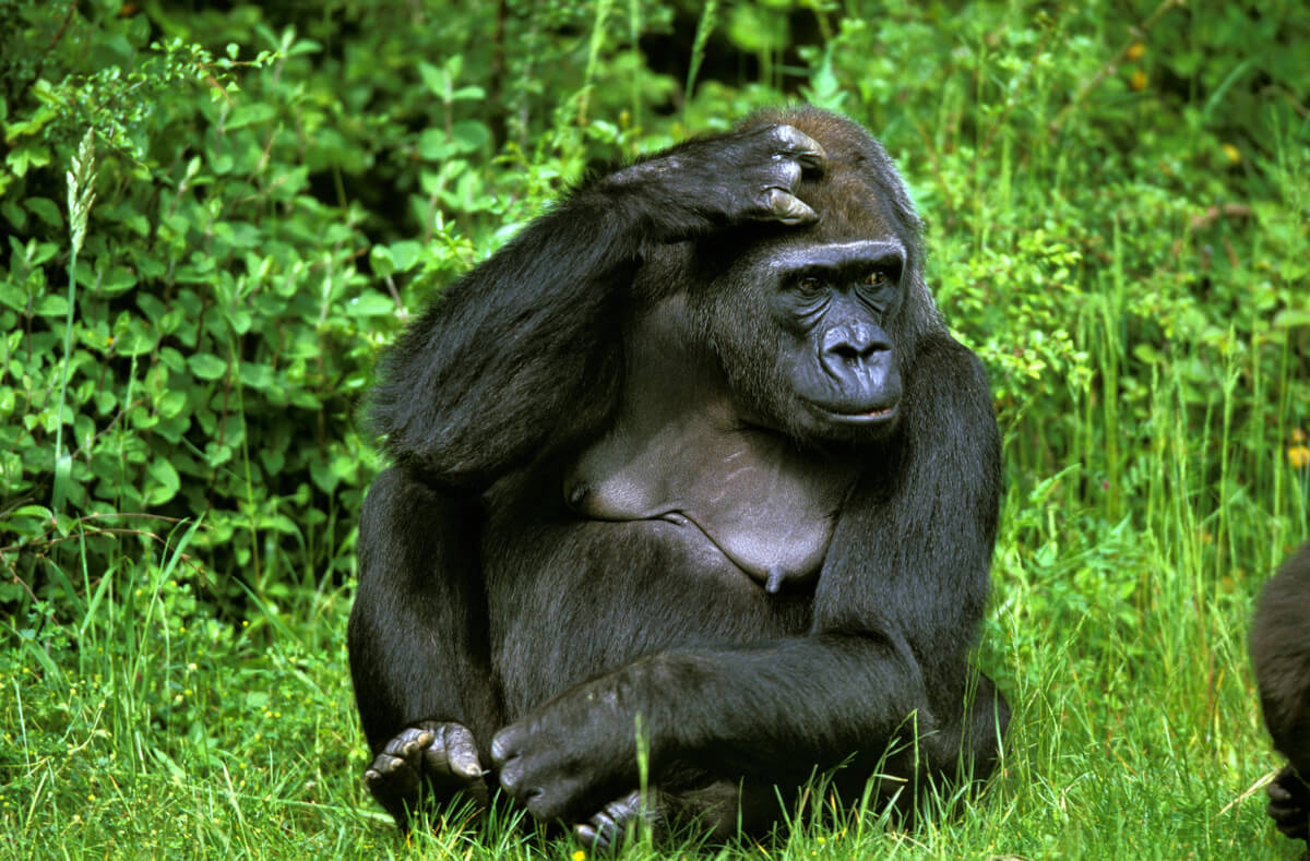 Gorille des montagnes.