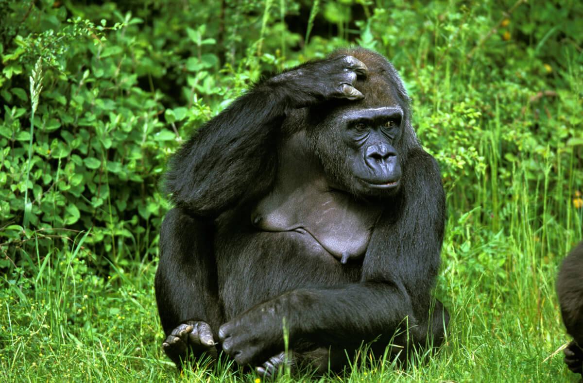 Un gorila en la selva.