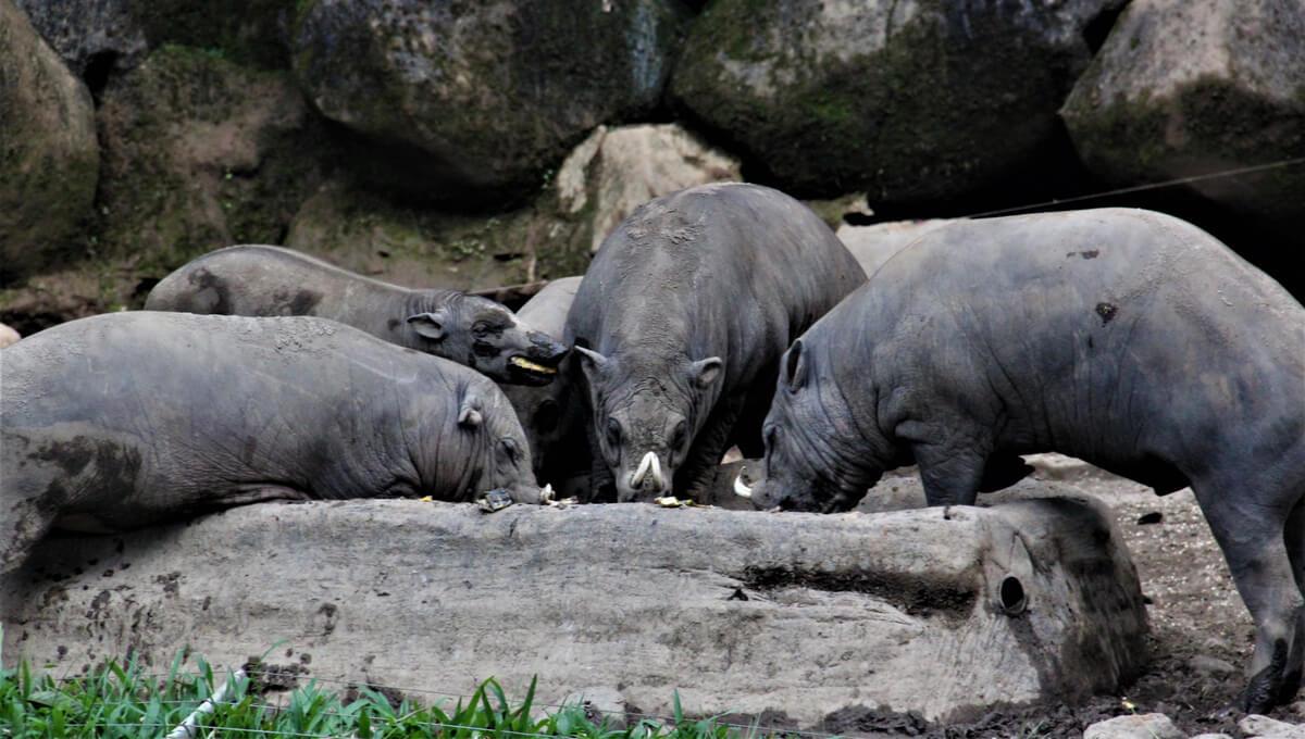Un grupo de babirusas comiendo.