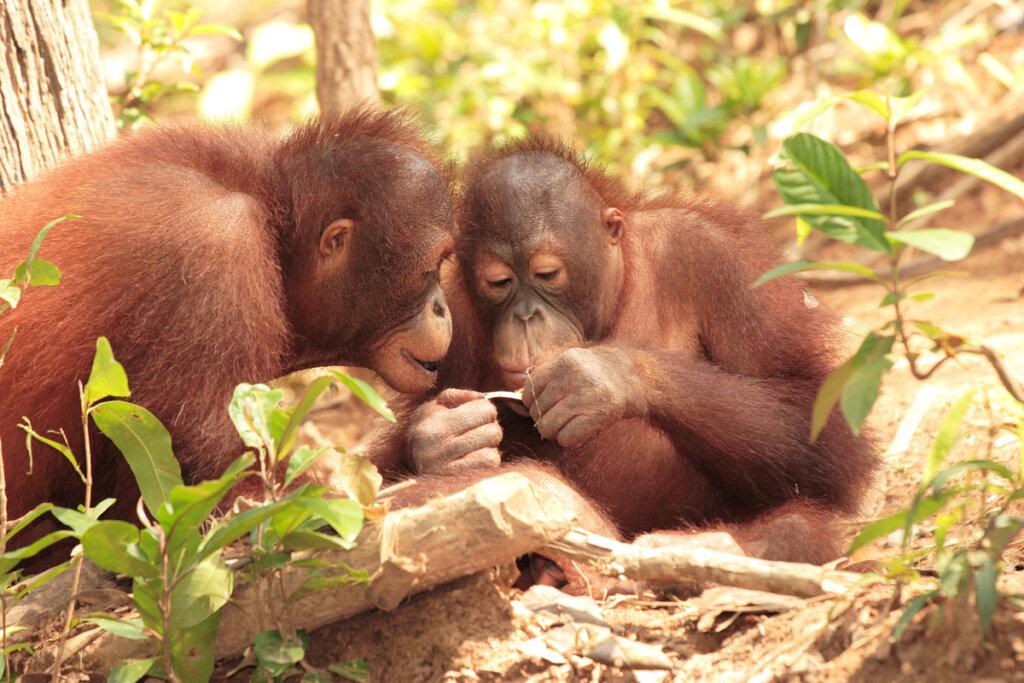¿Cómo es la comunicación en primates?