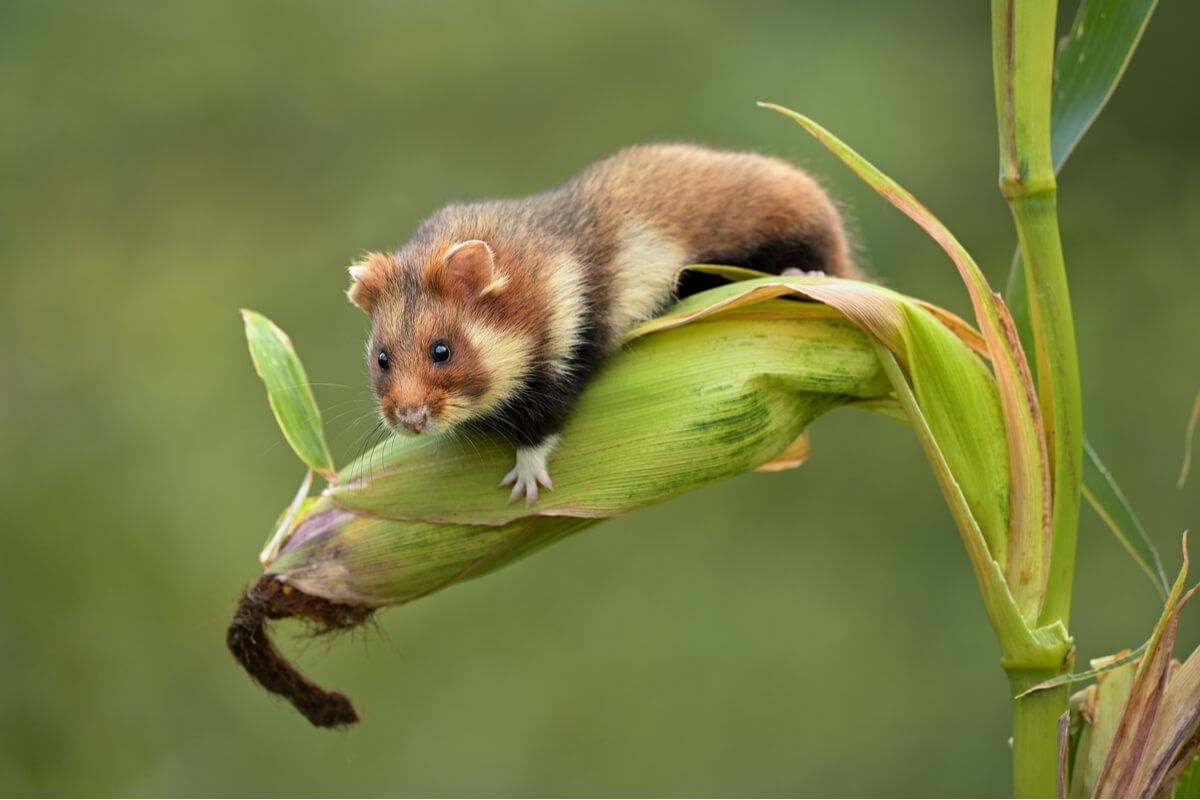 El hamster europeo en peligro de extinción
