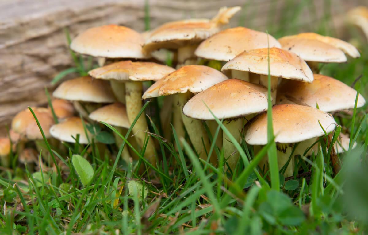 Una colonia de hongos marrones.
