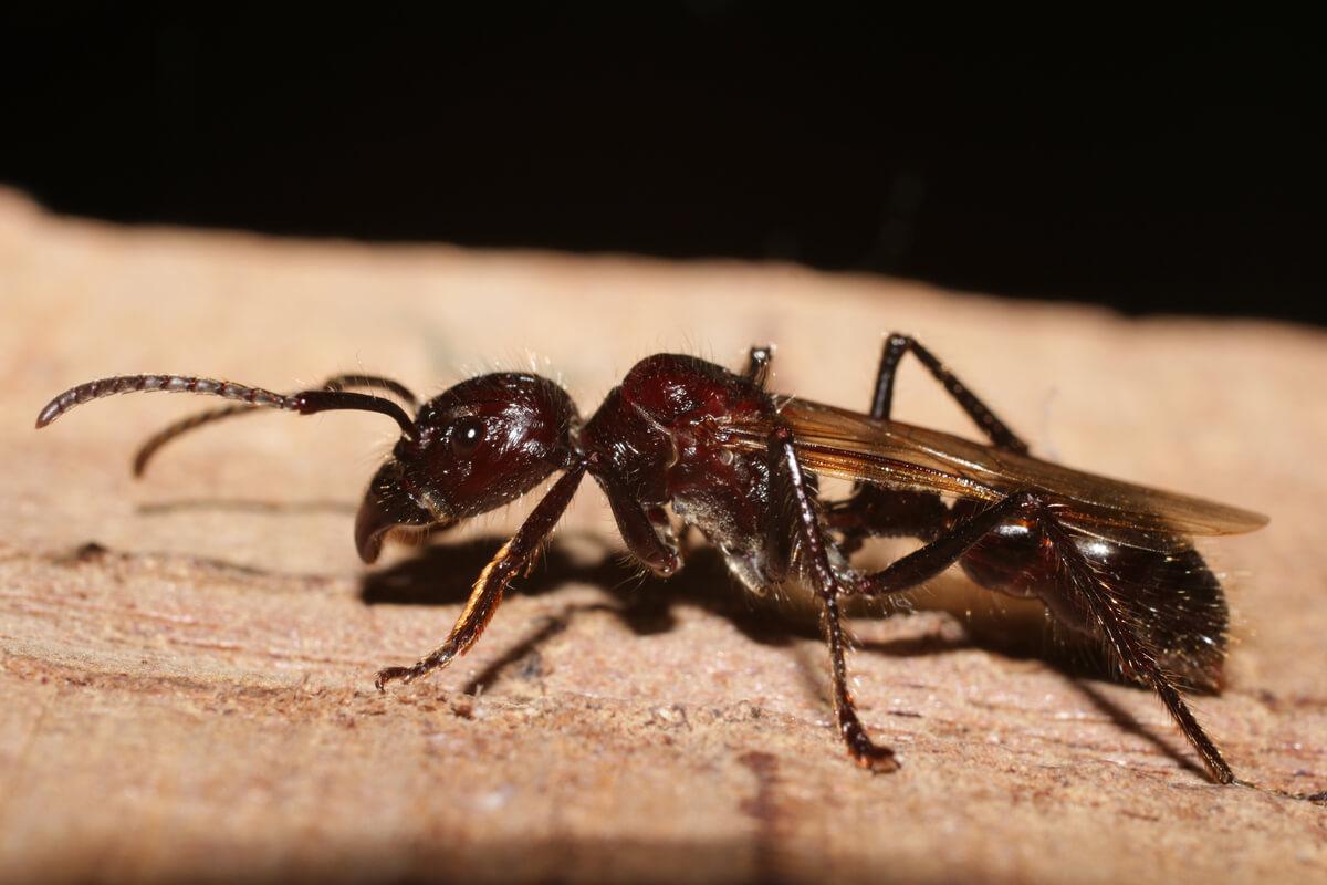 Una hormiga bala de cuerpo entero.