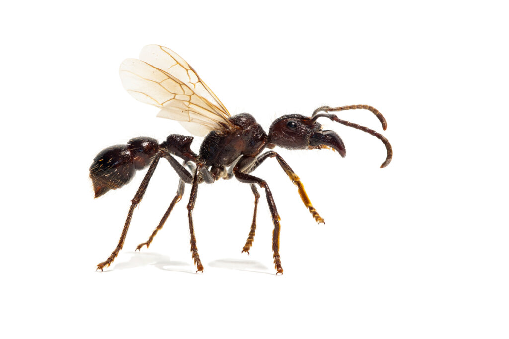 La hormiga bala: ¿qué tan peligrosa es?