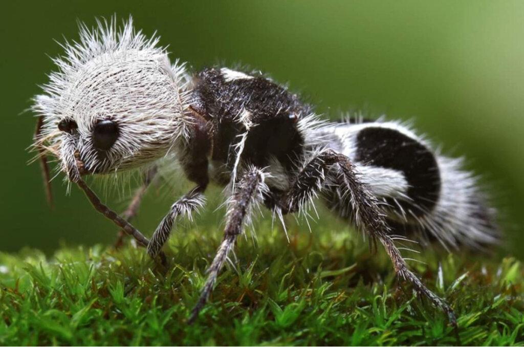 La hormiga panda: ¿el poder hecho avispa?