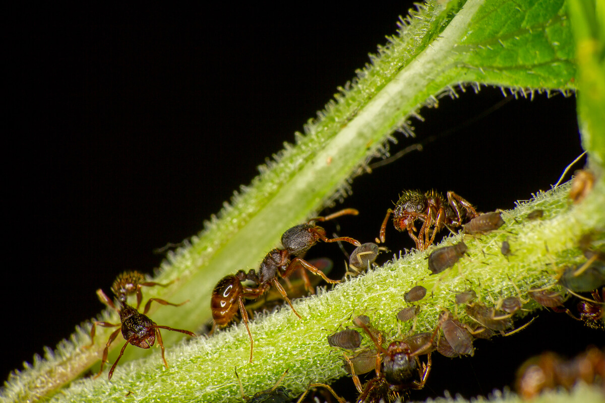 Hormigas del género Tetramorium.