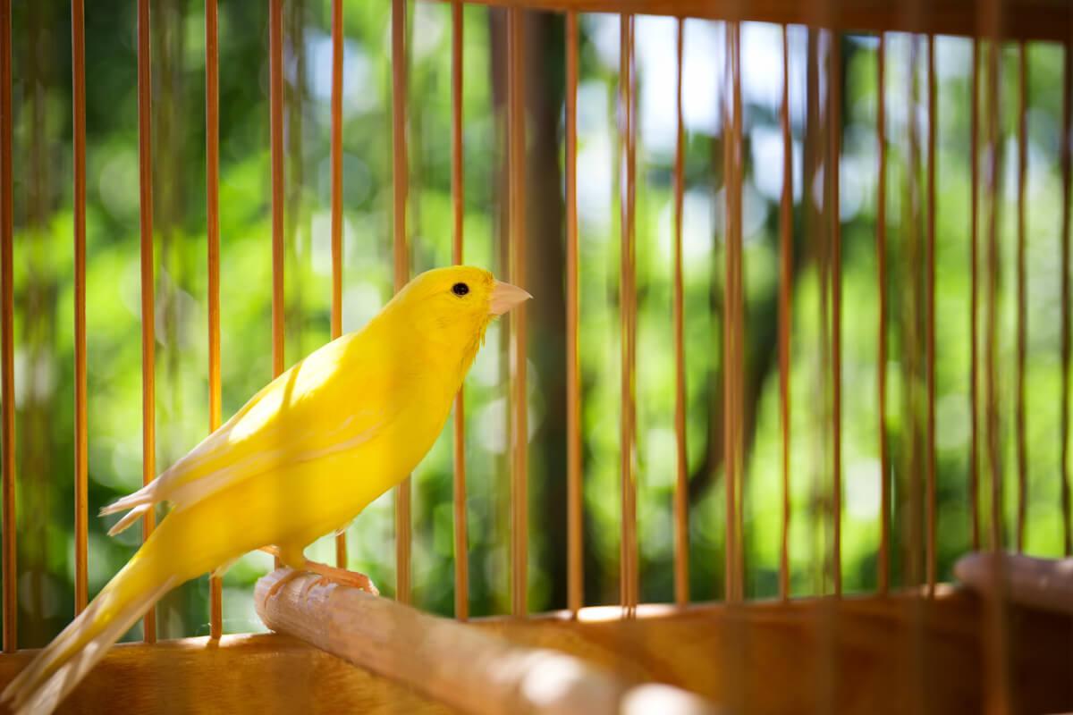El enriquecimiento ambiental es necesario para el bienestar de los canarios.