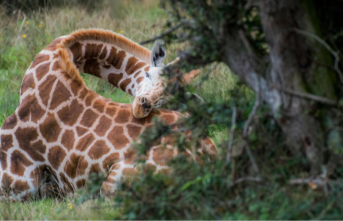 Las jirafas duermen poco por diversos motivos.