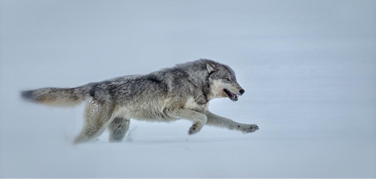 Un lobo corriendo en la nieve.