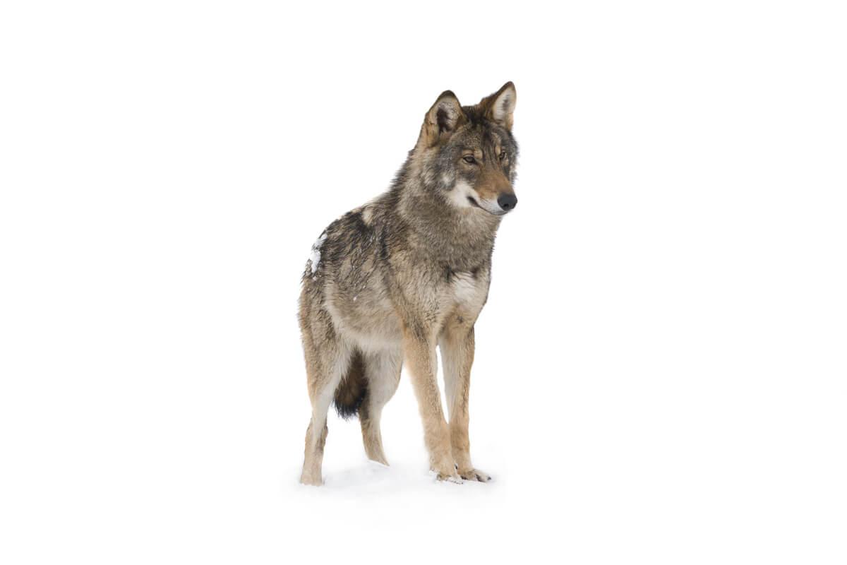 Un lobo sobre fondo blanco.