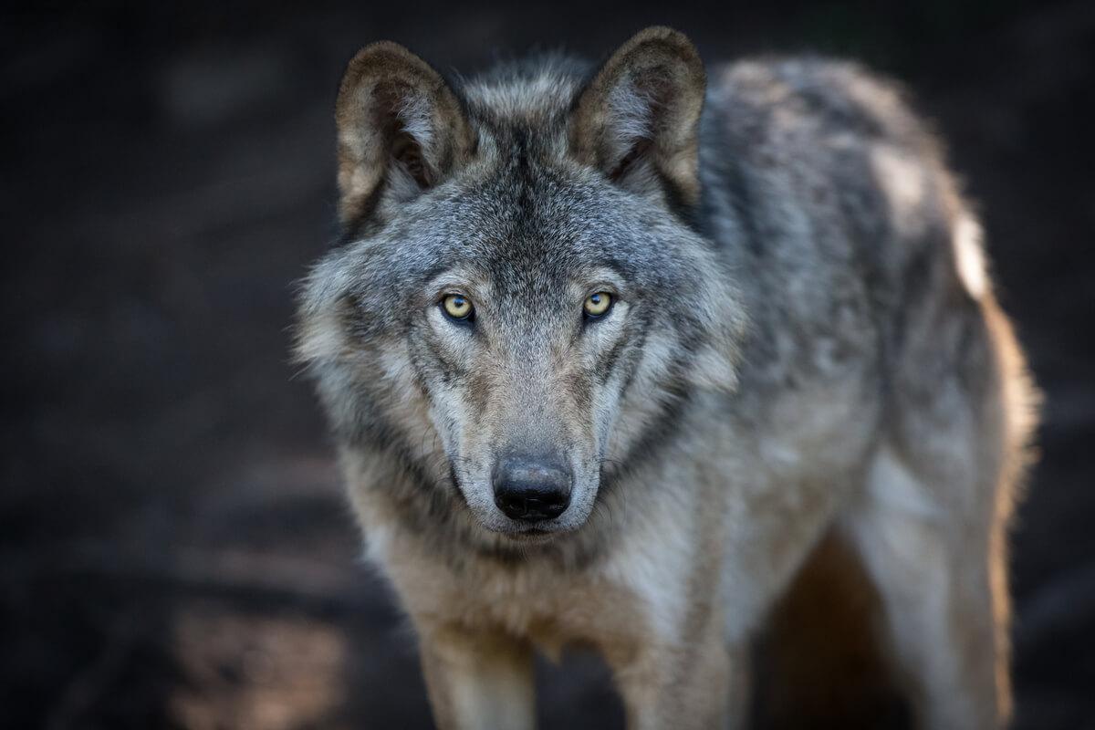 Un lobo gris mirando a cámara.