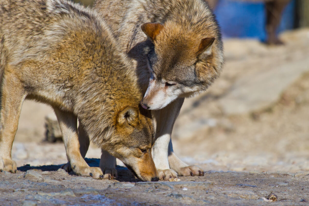 Deux spécimens de loup rouge.
