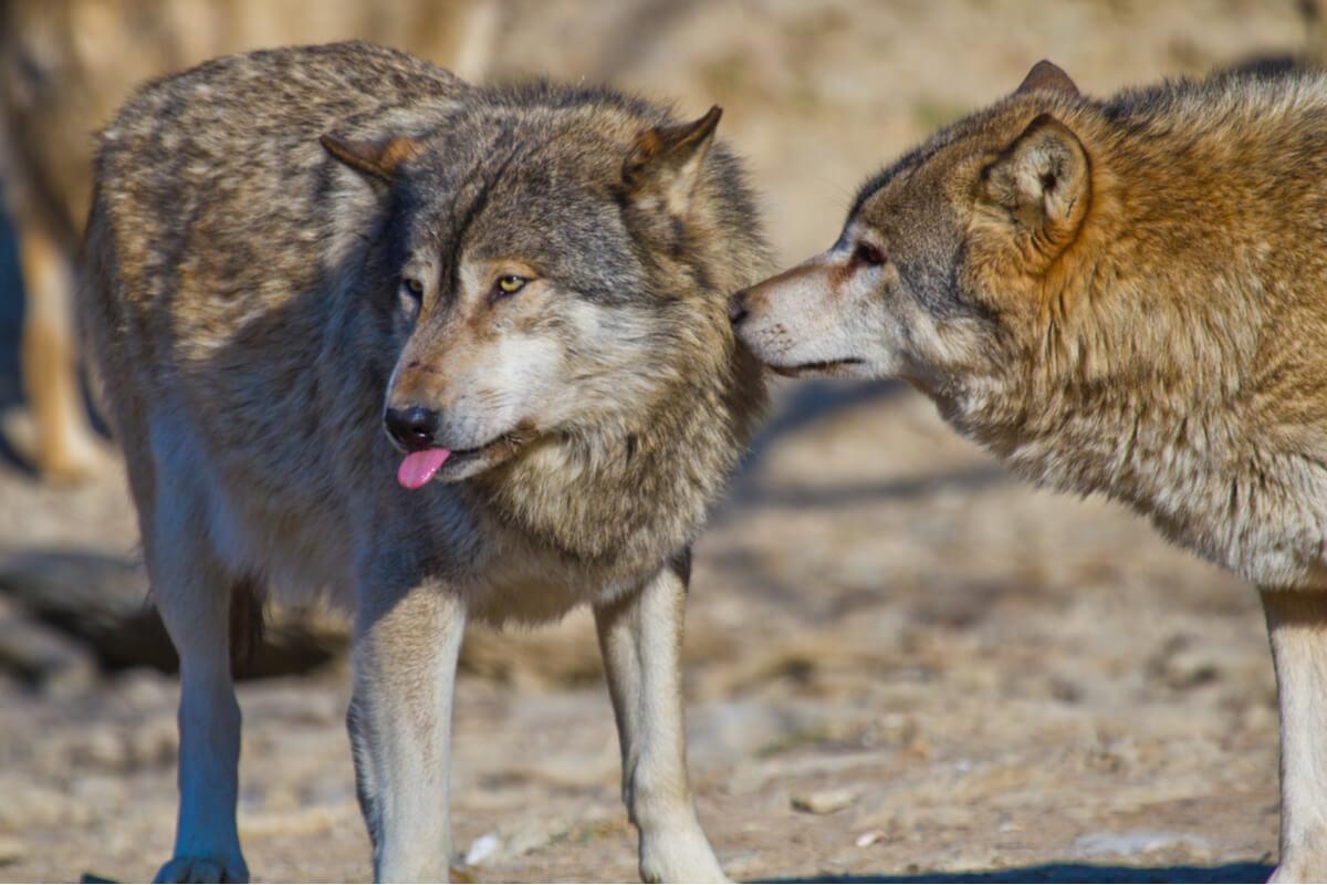 Unos lobos rojos dándose caricias.