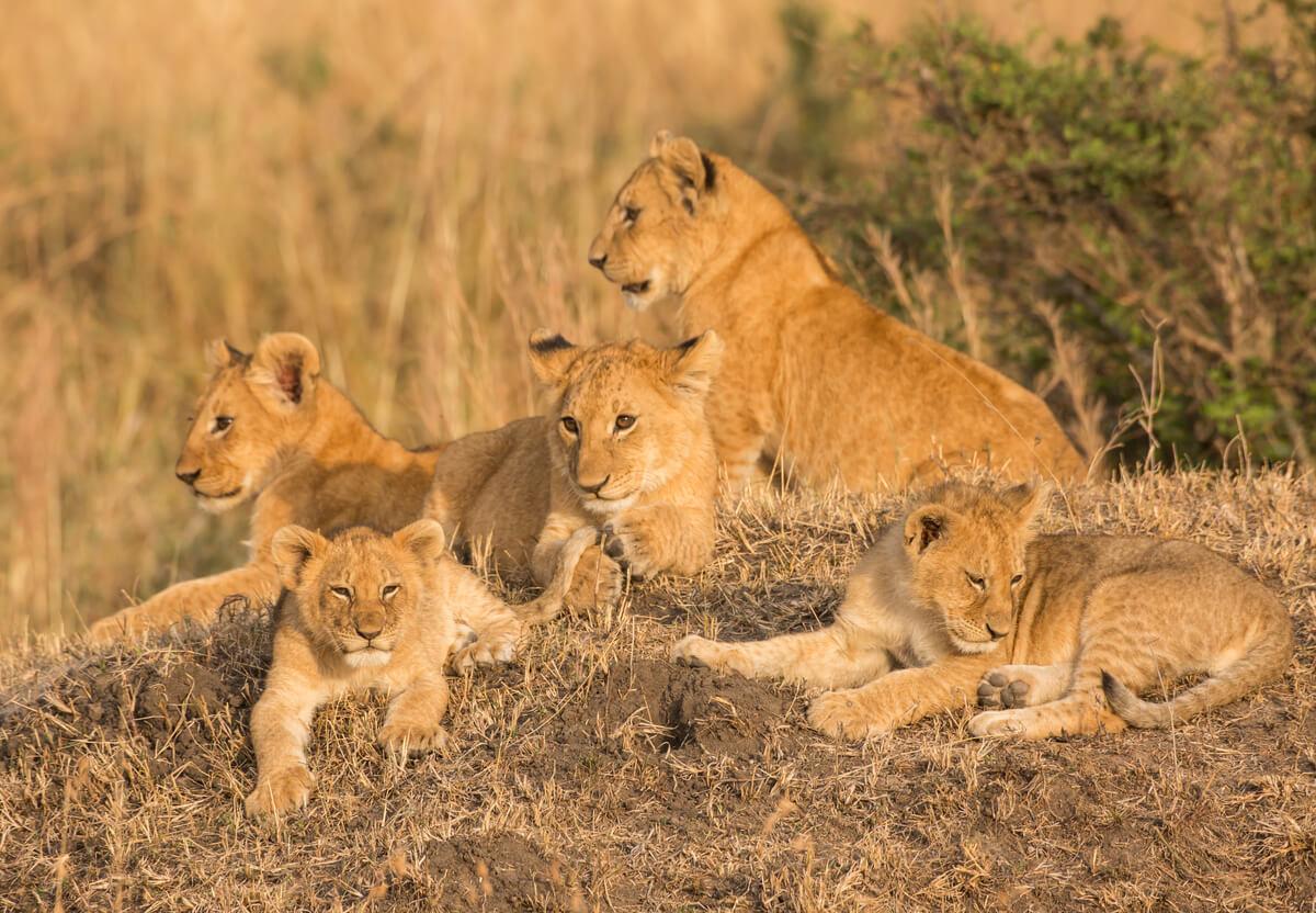 Una manada de leones con crías.