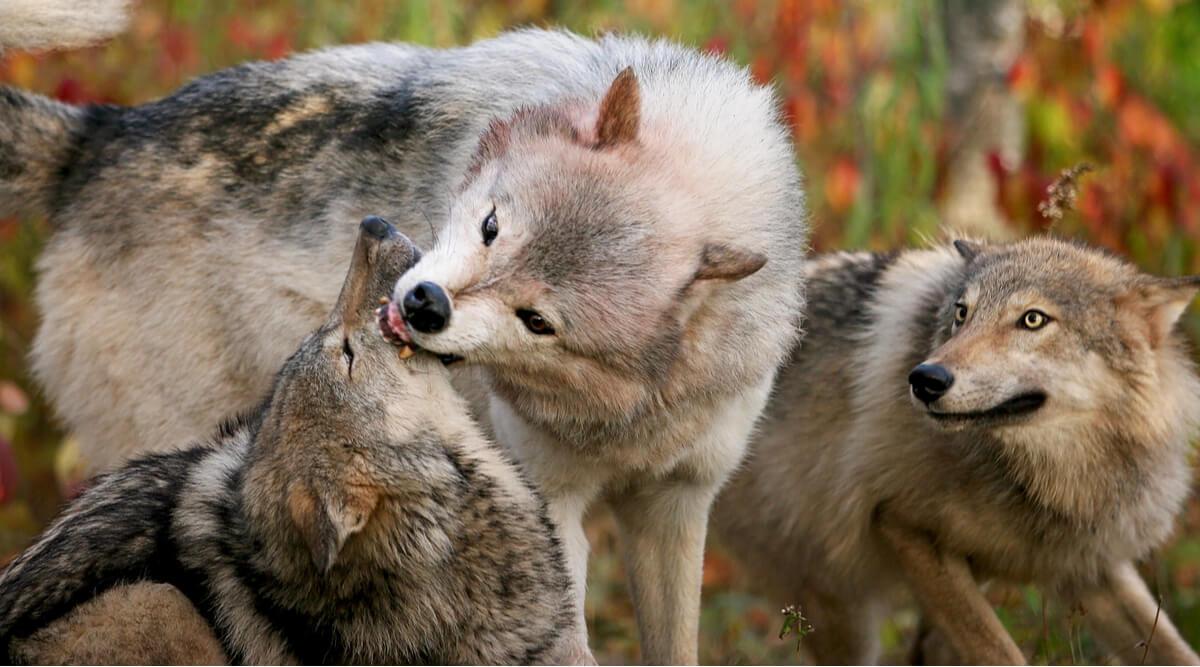 Jerarquía en las manadas de lobos: ¿existe el lobo alfa?