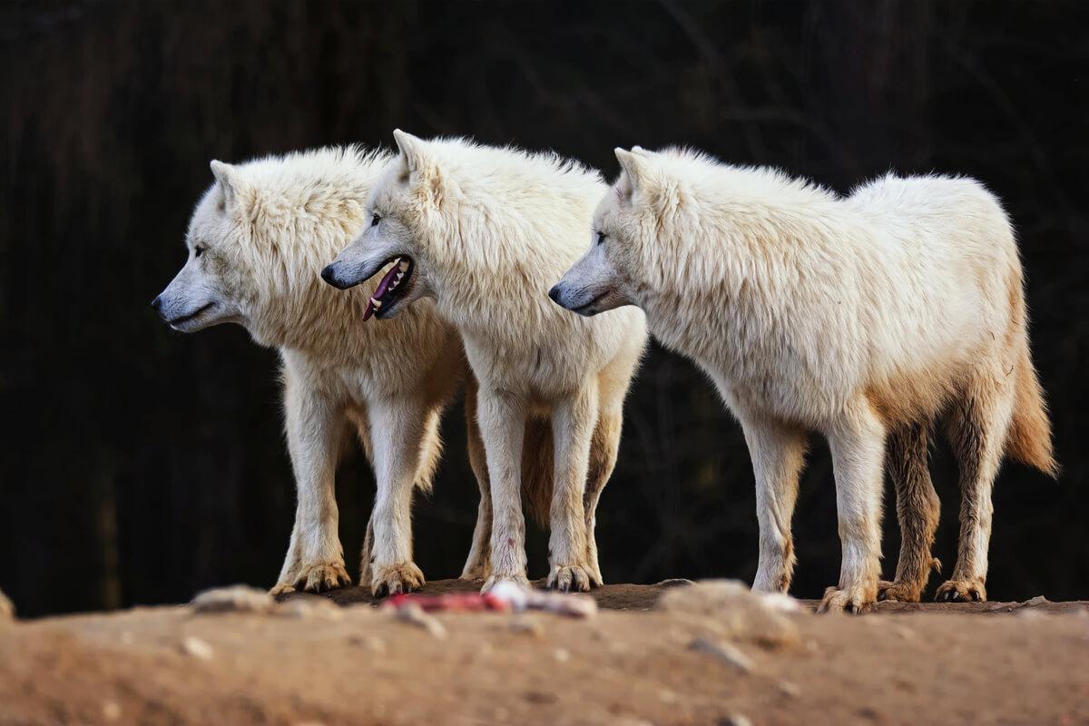 Una manada de lobos blancos.