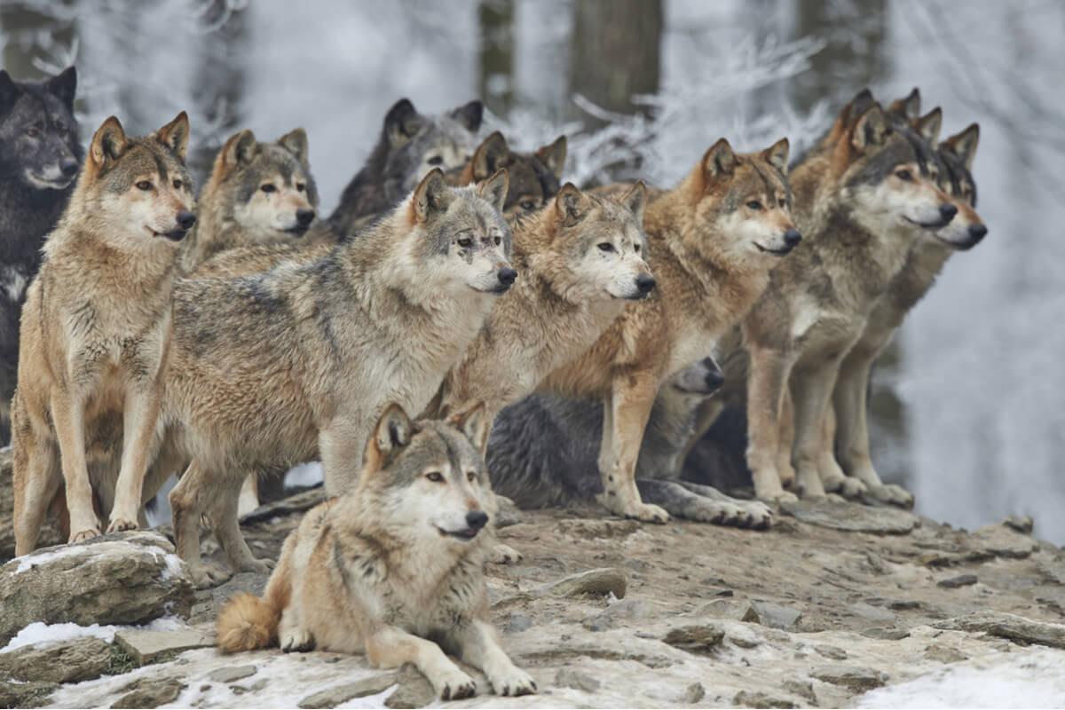 Una manada de lobos miran al horizonte.