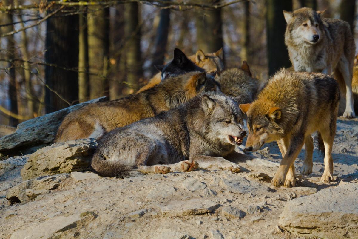 Una manada de lobos rojos.