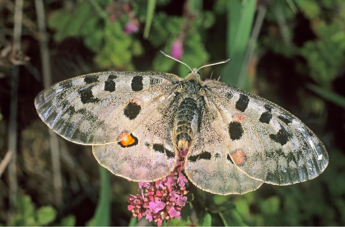 Una mariposa apolo sobre una flor.