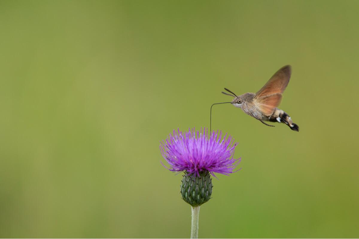 Una mariposa colibrí sobrevolando un cardo.