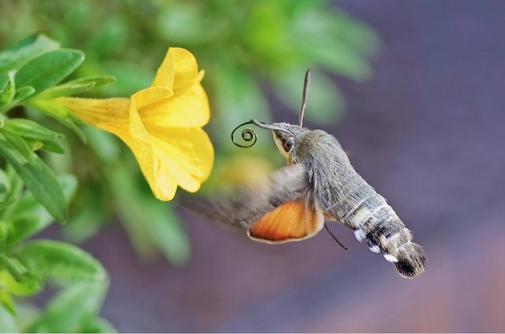La mariposa colibrí: ¿qué papel desempeña en la polinización?