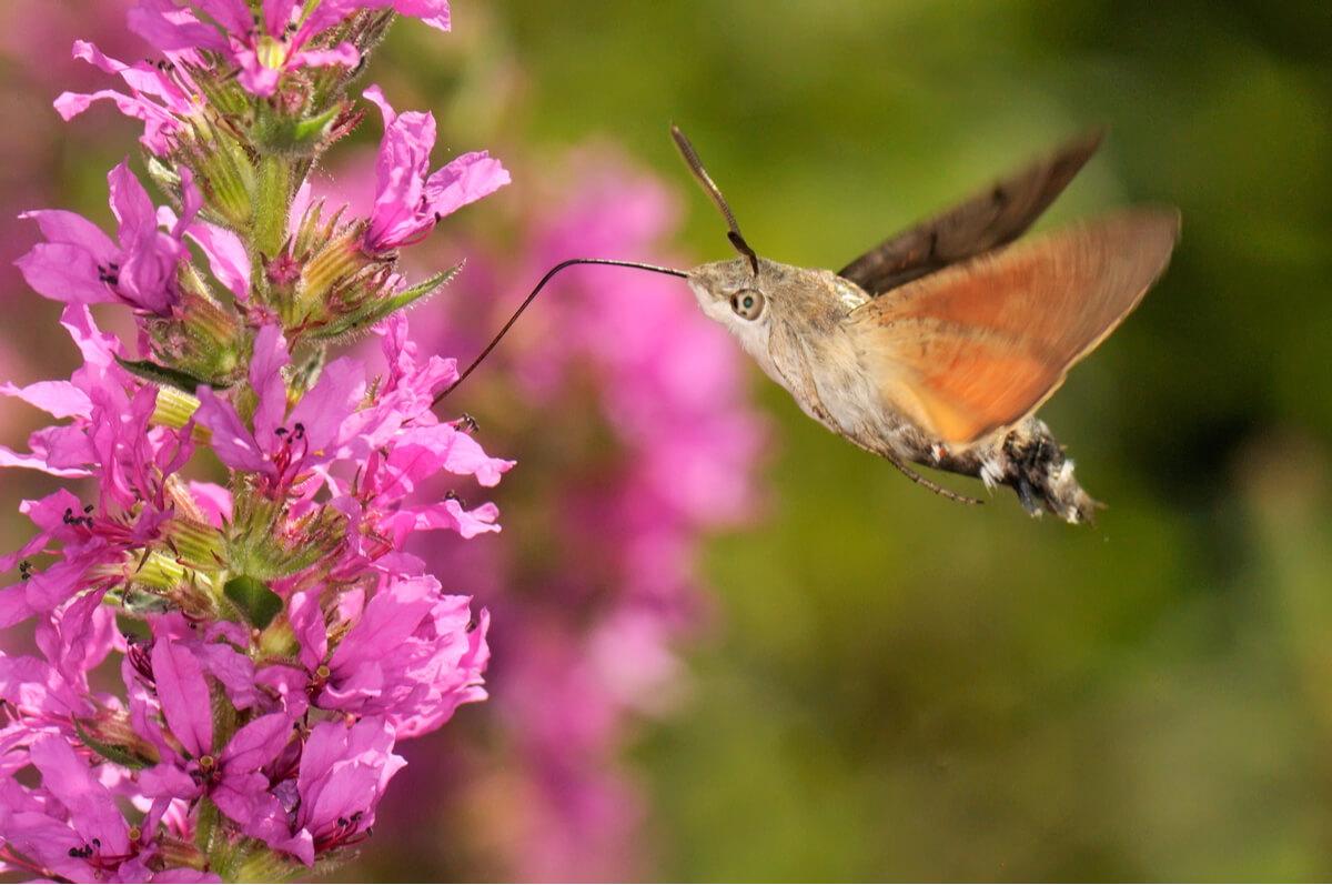 Een vliegende kolibrievlinder.