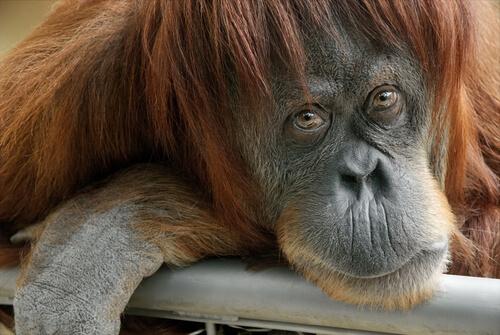 Un orangután mirando a cámara.