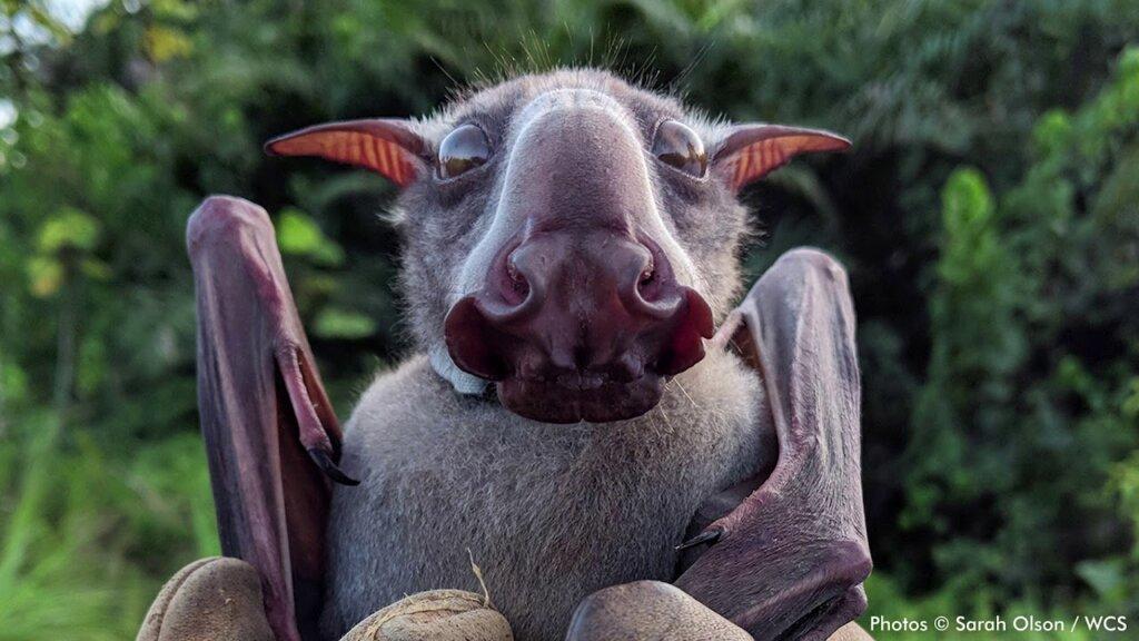 El murciélago cabeza de martillo y su fabulosa bocina