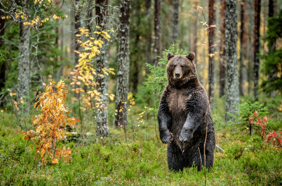 The bear is one of the most emblematic animals in Spain.
