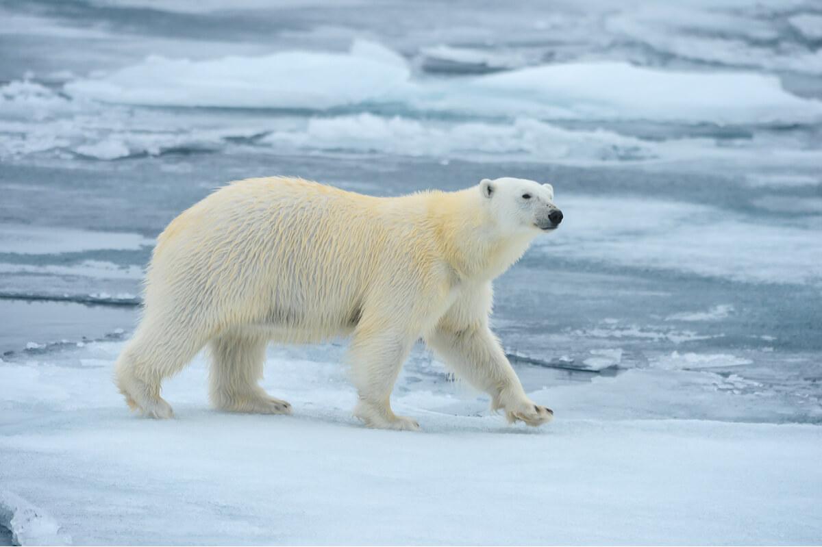 Los efectos del cambio climático sobre la fauna polar son innegables.