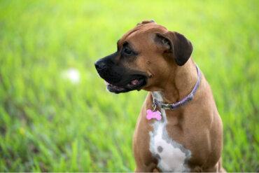 Dos patologías reproductivas en perras no gestantes bastante habituales