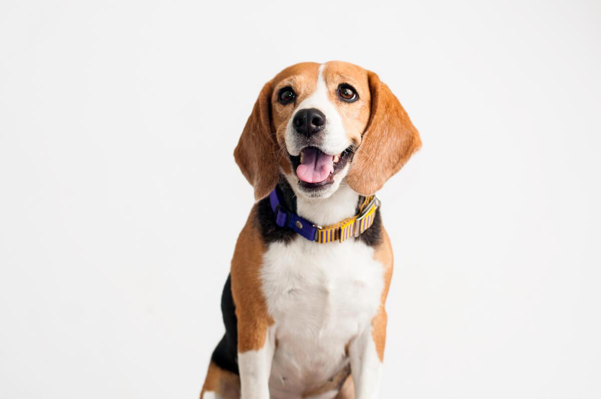 Un perro beagle contento.