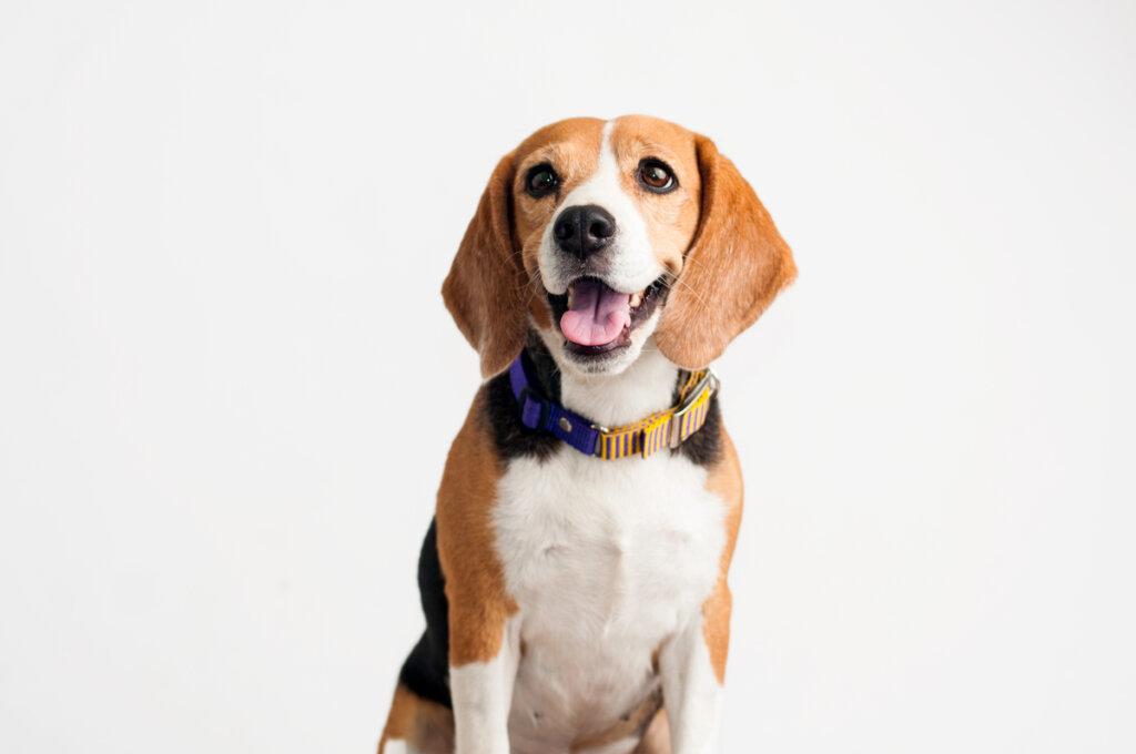 Epilepsia en el beagle: ¿a qué se debe?