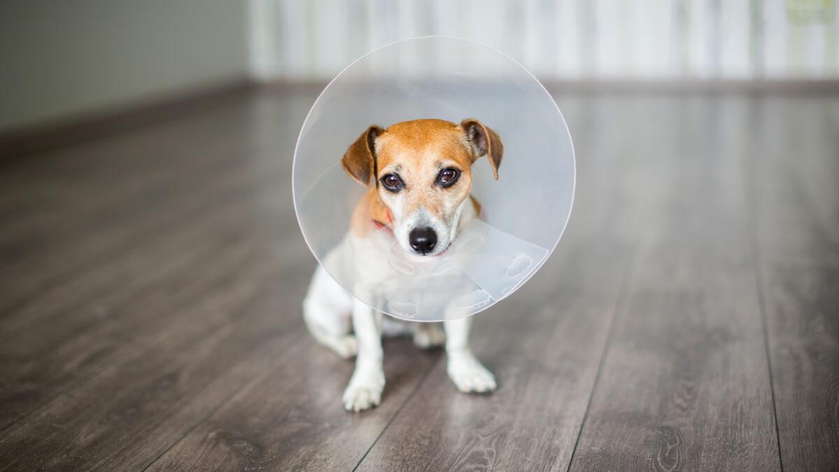 Un perro con un collar isabelino.