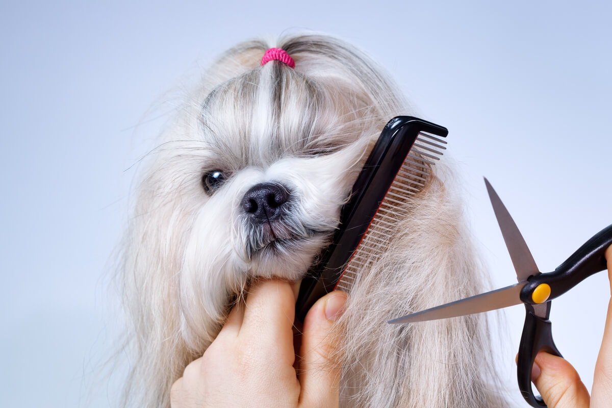 Un perro al que se le va a cortar el pelo.