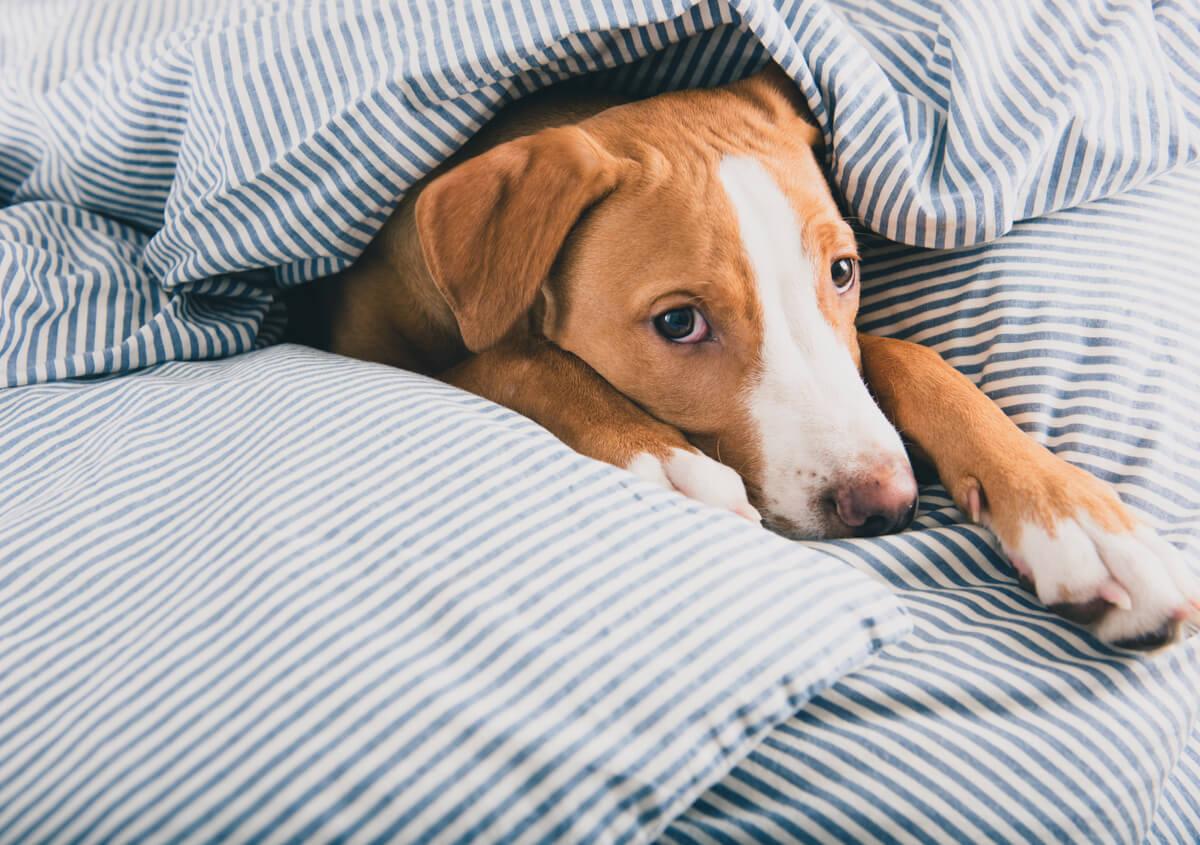 Un perro enfermo bajo una manta.