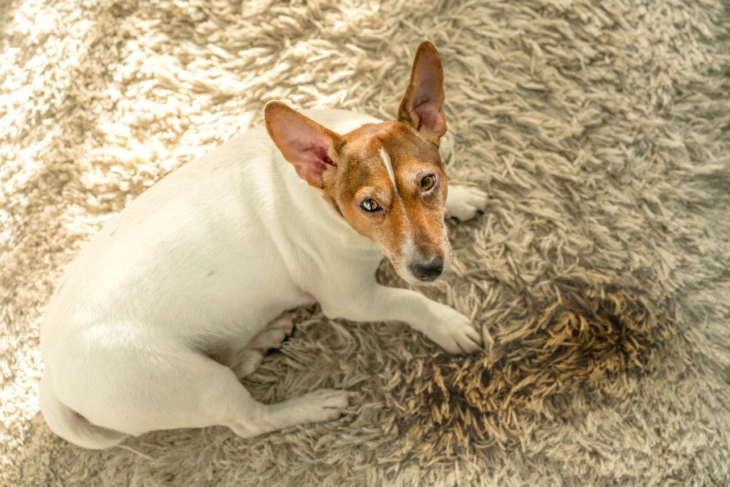 Cinco razones por las que los perros orinan en casa