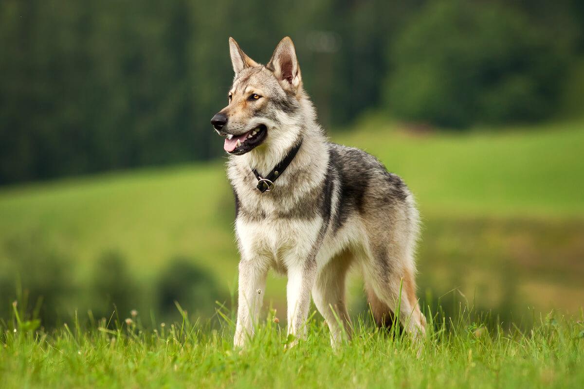 Un perro lobo
