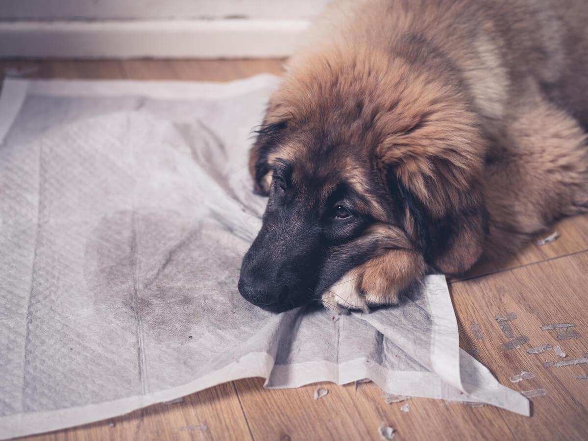 Un perro mancha el suelo con su pis.