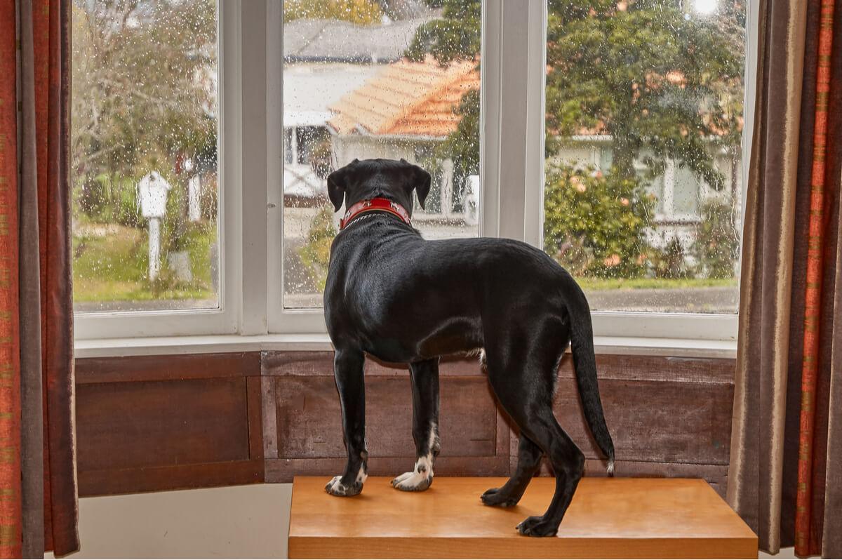 Un perro mirando por la ventana triste.