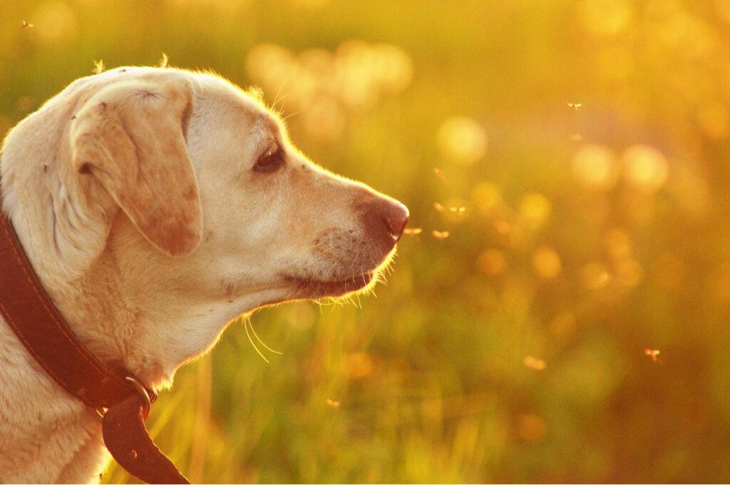 Enfermedades en perros transmitidas por insectos