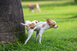 Tres enfermedades reproductivas que puede sufrir un perro