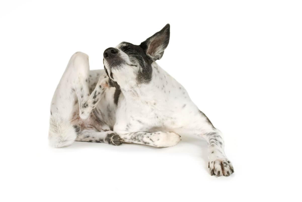 Un perro se rasca la piel.